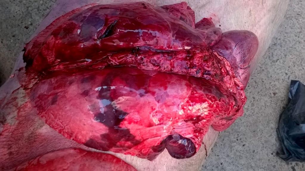 Lesiones de necropsia, compatibles con neumonía enzoótica, influenza, PRRSy otras complicaciones bacterianas