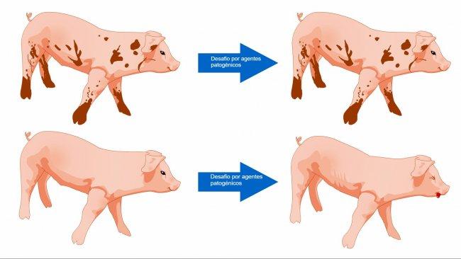 Figura 1. Porcos expostos a umambiente commais micróbios estão mais preparados para tolerar umdesafio sanitário como resultado de uma comunidade microbiana diversa e umsistema imunitáriomais robusto.