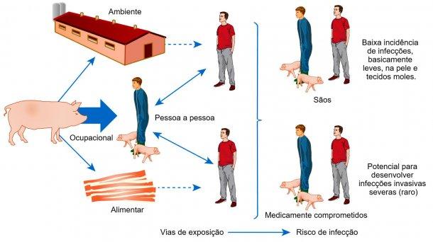 Modelo conceptual das vias de exposição e riscos de infecção com S. aureus associado a animais de produção