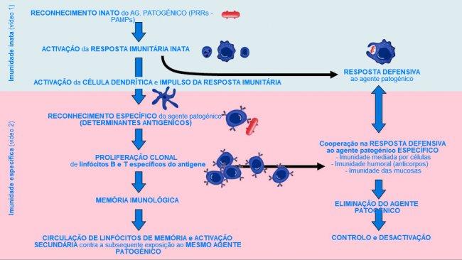 Figura 1. Fase de início, activação e progressão da imunidade inata e específica contra um agente patogénico.