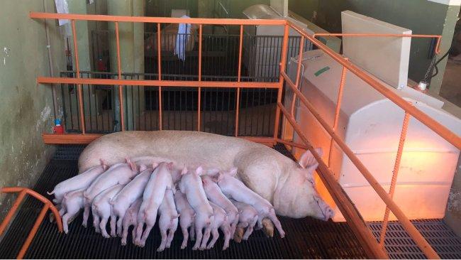 A produção de leite representa75 a 80 % das necessidades totais da porca lactante. (Foto: Instalações de investigação, NEPSUI/ UFMG)