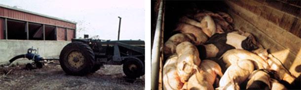 Foto 4: Há que ter cuidado enquanto se agita ou bombeia. Neste caso, os trabalhadores sobreviveram, mas os porcos não.