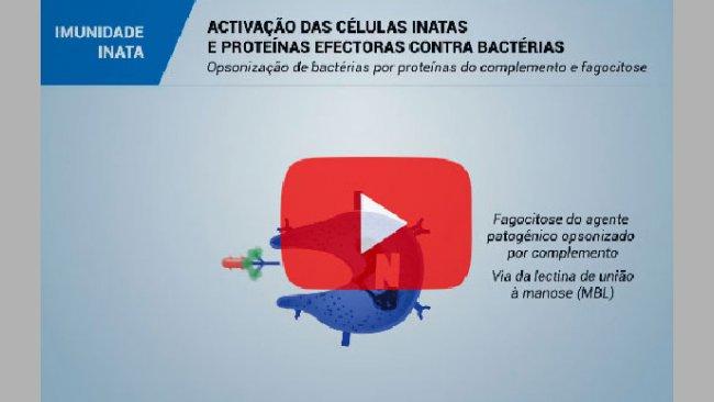 El sistema inmunitario y la inmunidad en el cerdo: Inmunidad innata