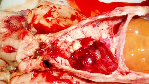 Figura 7. O coração do leitão da Figura 3. Observe as hemorragias petequiais no coração e nos gãnglios linfáticos hemorrágicos.