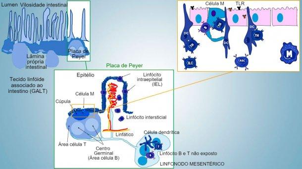Figura1: Representação esquemática dos tecidos linfóidesassociados a intestino: placas de Peyer(PPs), folículos isolados e linfonodos mesentéricos.