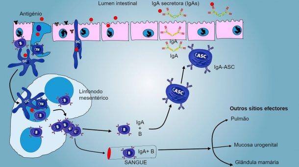 Figura4: Produção de IgA emlinfonodos mesentéricos eresposta sistémica.Os linfócitos B eT emproliferação e activados emigram da linfa para o sangue, no porco directamente através das vénulas endoteliais altas (HEV), a maioria regressandoaointestino ou alcançando outras superfícies mucosas (sítios efectores) como pulmão, glândula mamária e aparelho uro-genital.