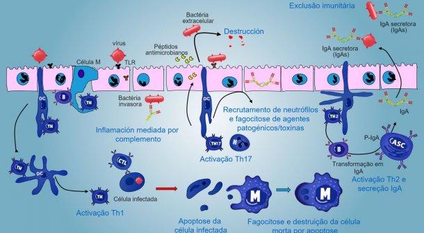 Figura5. Visão integrada darespostaimunitária contra agentes patogénicos a nível damucosa.
