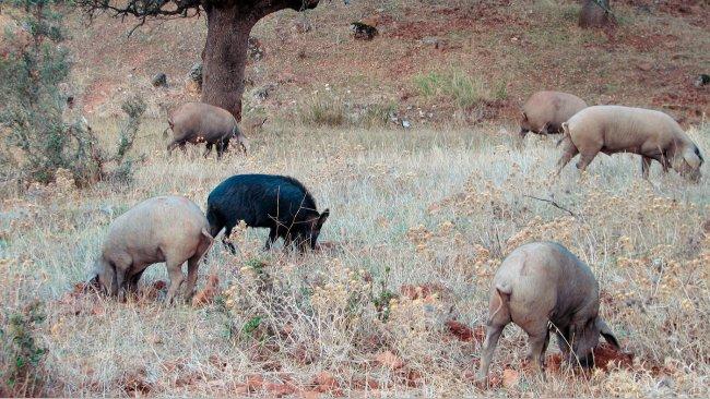O contacto com javalis é mais provável em produções ao ar livre, mas alguns agentes patogénicos, como os vírus da Doença de Aujeszky ou da Peste Suína Clássica podem chegar a atingir os porcos alojados em pavilhões.