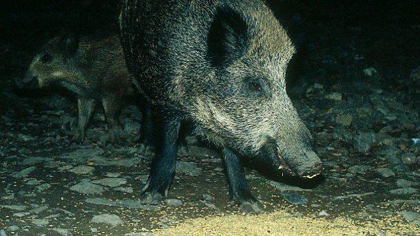 O fornecimento de alimento a javalis, seja com a finalidade para caça ou para evitar danos, requere debate e avaliação.