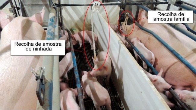 Gráfico 1. Recolha de amostras de ninhada (só os leitões foram expostos às cordas) e de família(tanto a porca como os leitões foram expostos às cordas).