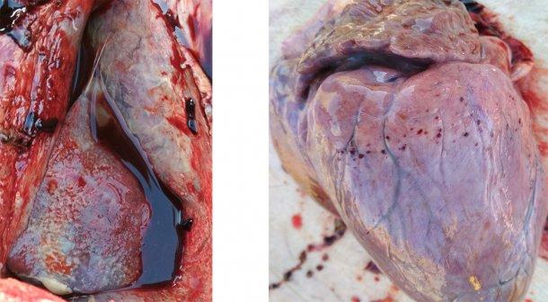 Figura 3-4. Presença de pleurite e pericardite fibrinosa (esquerda). Hemorragia petequial no coração (direita).