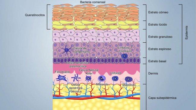 Figura 1. Esquema das camadas da pele.