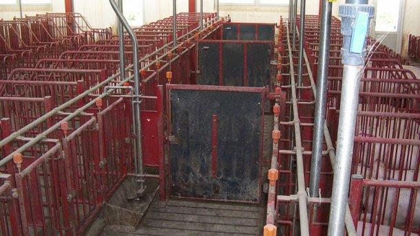As portas nos corredores dianteiros devem fechar a cada 5 jaulas, assim permitem fazer a detecção de cio e inseminar grupos de 10 porcas.