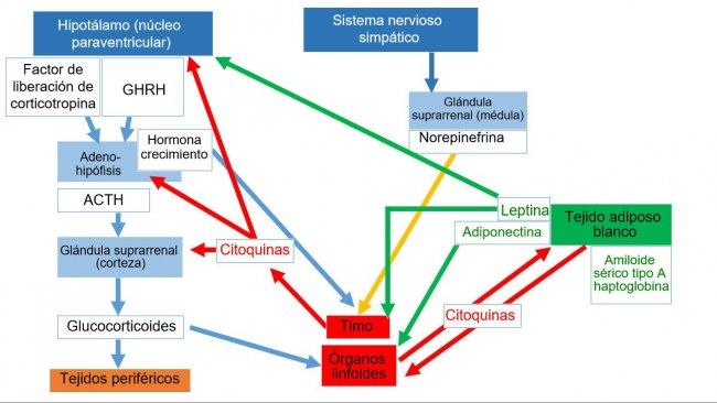 *Sistema neuroendoimunitárioACTH: hormona adrenocorticotrófica * GHRH: hormona libertadora da hormona do crescimento