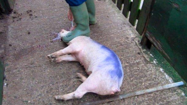 Figura 3. Quando se lacera o cérebro, há que ficar atrás do porco, não entre as suas patas.