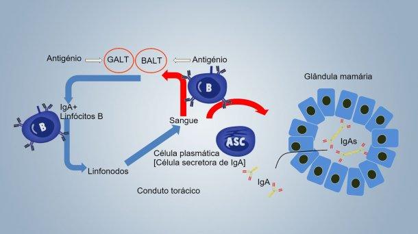 Figura 1. Esquema da imunidade lactogénica