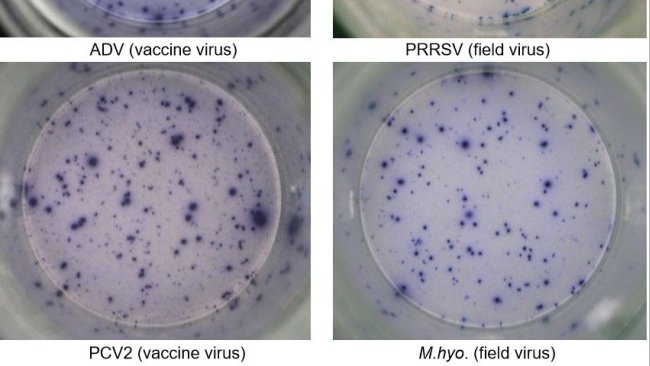 Fig. 1. Respostas específicas de antigene IFN-γ ELISPOT em PBMC a agentes patogénicos de suínos. ADV: vírus da doença de Aujeszky; PRRSV: vírus do Síndroma Reprodutivo e Respiratório Suína; PCV2: Circovirus Suíno tipo 2; M.hyo .: Mycoplasma hyopneumoniae. Cada mancha é devido à secreção de IFN-γ por linfócitos T reactivos de memória/efetores. Entre parênteses é indicado o agente patogénico usado para reactivar as células nas placas de teste.
