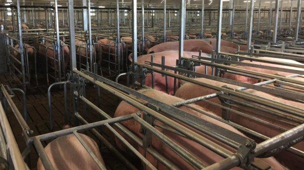 As porcas desmamadas esta semana, sendo preparadas para a inseminação por lotes.