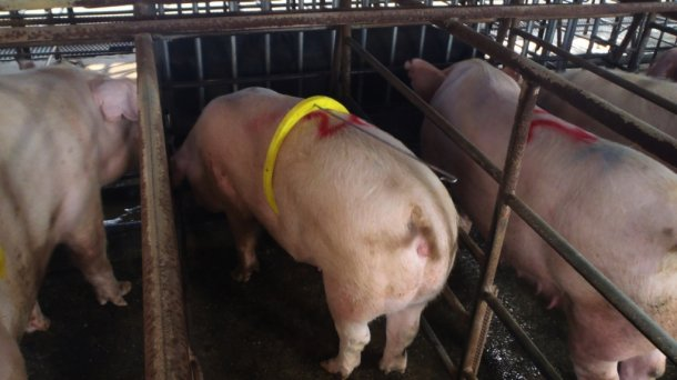 Um macho muito jovem e com uma líbido muito baixa que, pese a estar em frente das porcas em cio, foi dormir.