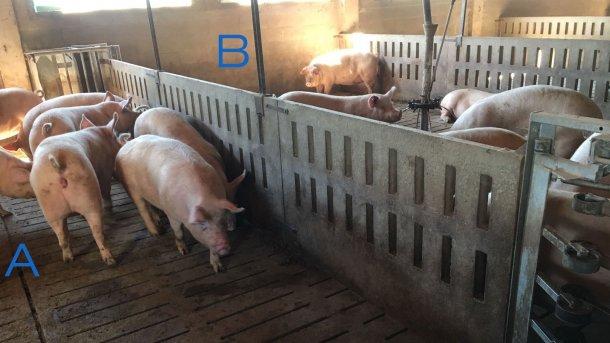 Foto 2. Parque para treinar as porcas para entrar e sair da estação de alimentação . No lado A apenas tem bebedouro e no lado B está o comedouro. Para encorajar as porcas a passarem de um lado para o outro, a alimentação é colocada de um lado (B) e no lado A existem apenas bebedouros.