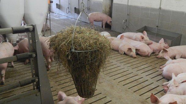 Foto 2. Material manipulável ao alcance dos porcos. Foto cortesía de Inge Böhne