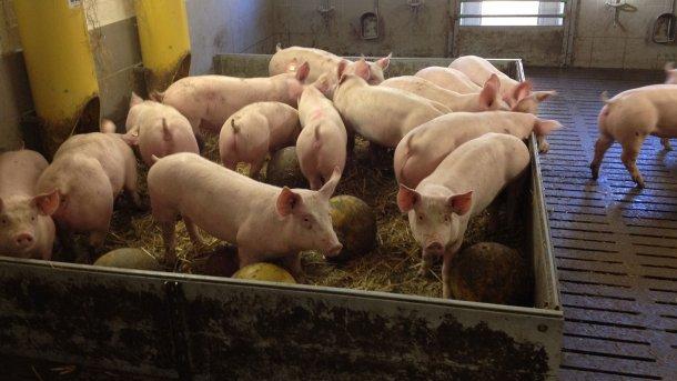 Foto 2. Os materiais manipuláveis e brinquedos para os porcos reduzem potencialmente a probabilidade de casos de mordeduras de cauda. Foto por cortesia de Inge Böhne