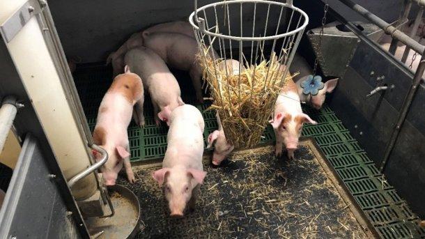 Foto 1. Porcos intactos (com cauda) com material manipulável. Foto por cortesia de Inge Böhne