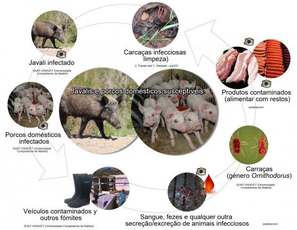 Figura 1. Rotas de transmissão do vírus da PSA, incluindo o contacto directo e indirecto com animais infecciosos, os seus produtos, excreções/secreções e/ou sangue, carcaças, diversos fómites contaminados e vectores biológicos (produção própria).