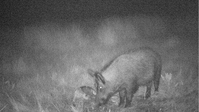 Foto 4: A fotografia permite revelar o uso que os javalis fazem dos cadáveres e dos resíduos de caça. É importante evitar que os restos permaneçam acessíveis a javalis.