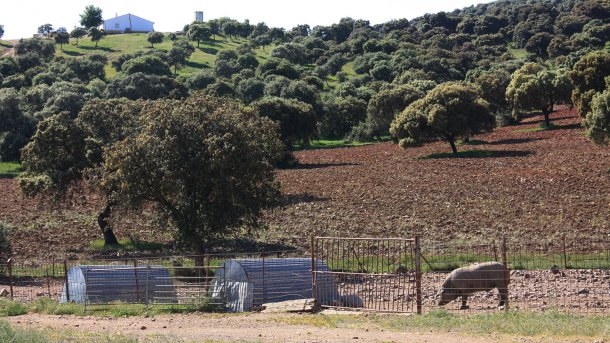 Foto 2: Um porco mantido numa cerca simples em zona florestal. A probabilidade de contacto com javalis é elevada.