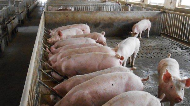 Fotografia 2. Típicos alojamentos para porcos reprodutores e de engorda/acabamento na exploração afectada