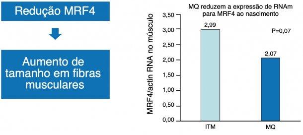 Figura 1. A redução do fator nuclear MRF4 aumenta o crescimento muscular (hipertrofia).