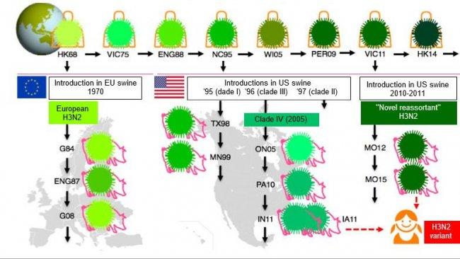 """Figura 1. Evolução dos vírus da gripe H3N2 em humanos e em suínos. Os diferentes tons de verde indicam diferenças antigénicas no H3 HA; as estirpes víricas são indicadas com o local (abreviado) e o ano de isolamento. Os vírus humanos introduziram-se na população suína a princípios dos 1970s na Europa e, a meados dos 1990s e em 2010 na América do Norte. Isto levou à situação actual de 3 clados distintos de VGS H3N2 (ver as caixas de texto), um na Europa e dois na América do Norte. Os clados norte-americanos de forma ocasional,saltam de volta, para a população humana e, então, passam a chamar-se vírus """"variantes""""."""