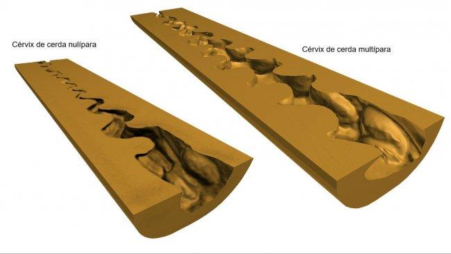 Figura 1. Representações em 3D digital do cérvix uterino (secção longitudinal média) de porcas nulíparas e multíparas obtidas após scaner (NextEngine Desktop 3D Scanner, modelo 2020i) dos moldes endoluminais.
