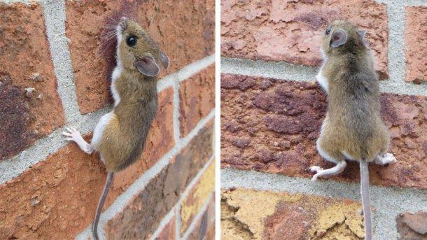 Exemplo de ratazana a trepar uma parede. Fonte: Nature Guelph Tracking Club (natureguelphtracking.wordpress.com)
