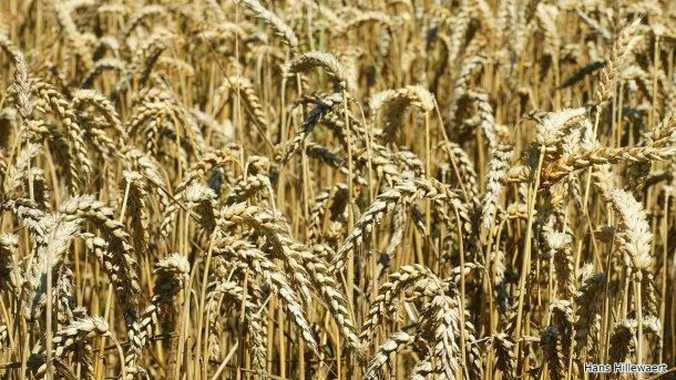 Campo de trigo en Oostburg, Países Bajos. Foto de Hans Hillewaert.