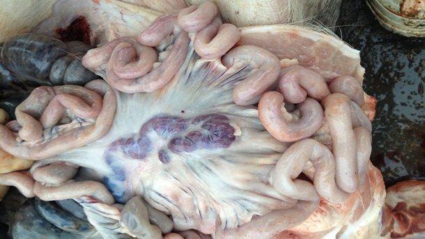 Porco infectado por PSA 14 dias após a detecção da doença.  Gânglios linfáticos inchados e hemorrágicos.