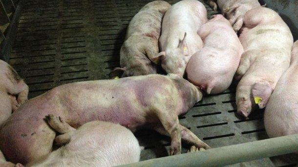 Porco infectado por PSA 14 dias após a detecção da doença. Lesões hemorrágicas graves em todo o corpo