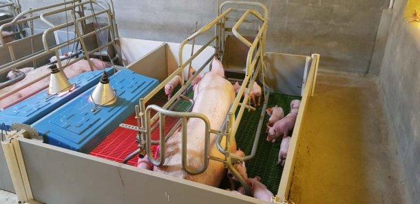 O uso de ninhos na primeira semana de maternidade ajuda muito para se conseguir um óptimo controlo ambiental tanto para os leitões como para as porcas