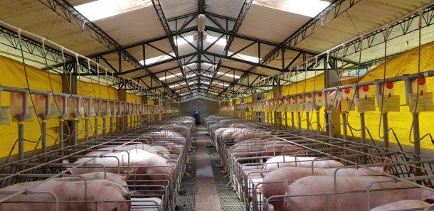 Jaulas de gestação com doseadores e sistema de ventilação tipo cortinas