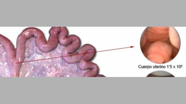 inseminação artificial porca