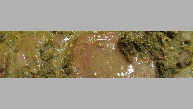 Diarrea con sangre y moco de un cerdo infectado con Brachyspira hyodysenteriae
