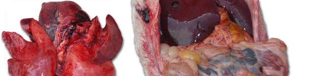 congestión pulmonar grave y una enteritis de gravedad variable con afectación de más o menos importancia de los ganglios linfáticos mesentéricos.