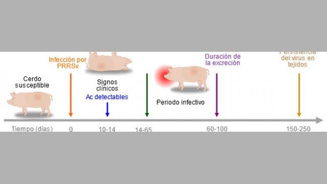 Capacidad de las herramientas diagnósticas para detectar antígenos o anticuerpos de PRRSV durante la infección.
