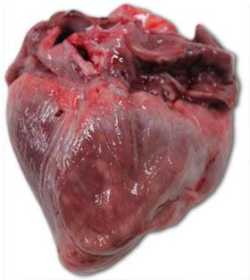 Cuore suinetto. Deceduto, età 40 giorni vita. Grave sfiancamento del ventricolo dx. con necrosi multifocale del miocardio (macchie bianche).Atrofia gelatinosa del tessuto adiposo dell'epicardio.