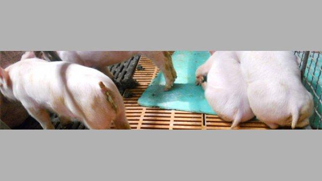 Lechones retrasados, con vómitos, desmedro y diarrea típica de PED en los brotes actuales en Asia.