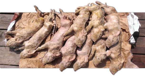 El 100% de los lechones de menos de 7 días murieron