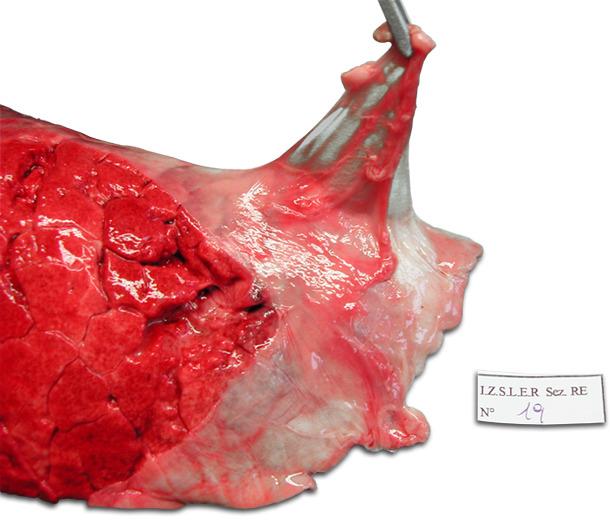 Pulmón izquierdo de un cerdo. Pleuritis dorso-caudal crónica que afecta la parte craneal del lóbulo diafragmático. Desprendimiento típico de la pleura.
