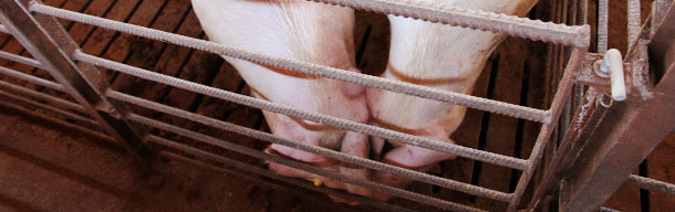 Contacto nariz-nariz entre cerdos