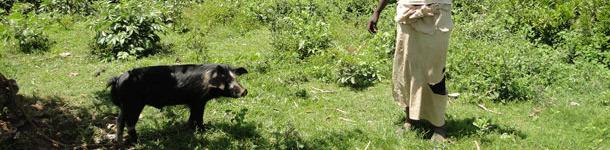 Cerdo en extensivo atado a un árbol para evitar daños a cultivos cercanos en Homa Bay, Kenia